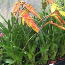 Tillandsia dyeriana - Bromelia