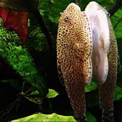 Beaufortia leveretti - Locha mariposa