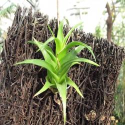 Catopsis sp. Bromeliaceae
