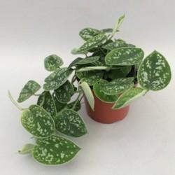 Scindapsus pictus - Potus Plateado