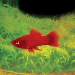 Xiphophorus helleri rojo