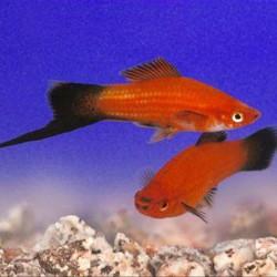 Xiphophorus helleri rojo wagtail