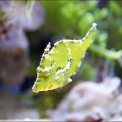Acreichthys tomentosus - Tomentoso anti aiptasias