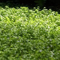 Bacopa australis - planta tapizante