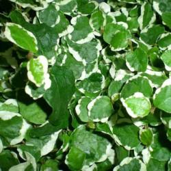 Ficus sunny - Ficus trepador