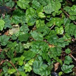 Ficus montana - Ficus trepador