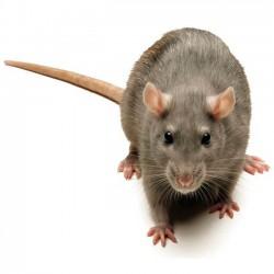 Rattus norvegicus Rata de Laboratorio