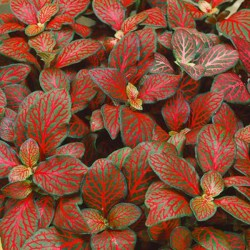 """Fittonia """"Forest flame"""""""