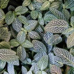 Fittonia argyroneura cv mini white