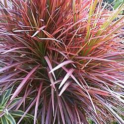 Dracaena marginata - Drácena marginata