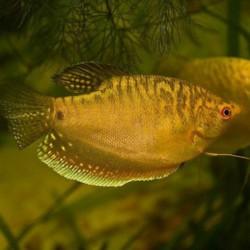 Trichogaster trichopterus 'oro' - Gourami dorado