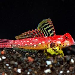 "Synchiropus sp. ""Red Rubi"" (Moyeri) - Blenio rojo rubí"