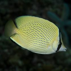 Chaetodon citrinellus - Pez mariposa moteado
