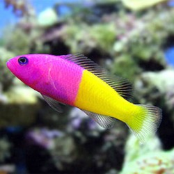 Pictichromis paccagnellae - Royal dottyback - Falso gramma