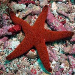Estrella Roja Fromia sp.
