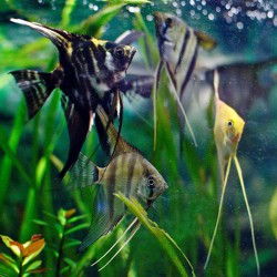 Pterophyllum scalare 'surtido'