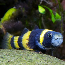 Brachygobius doriae - Gobio avispa