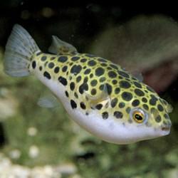 Tetraodon fluviatilis - Pez globo verde - Pez globo leopardo