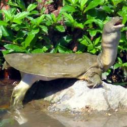 Pelodiscus sinensis - Tortuga china de caparazón blando