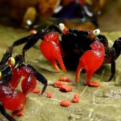 Geosesarma sp. red devil - Cangrejo halloween