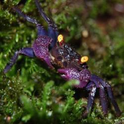 Geosesarma sp. Vampire Purple - Cangrejo vampiro