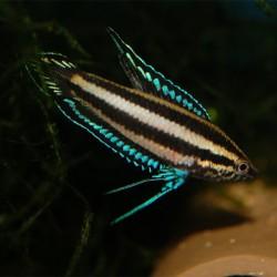 Parosphromenus deissneri - Gourami regaliz