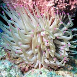 Condylactis gigantea - Anémona puntas de color