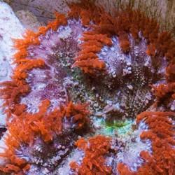 Epicystis crucifer - Anémona flor - Anémona de roca