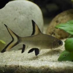 Balantiocheilus melanopterus