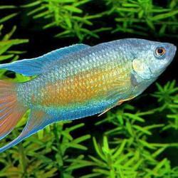 Macropodus opercularis azul