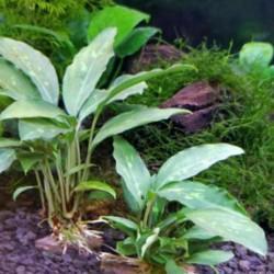 Piptospatha ridleyi