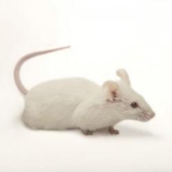 Ratón Mus musculus pinki - Ratón de laboratorio pinki