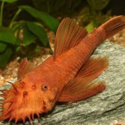Ancistrus super red - Ancistrus dolichopterus