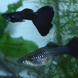 Poecilia reticulata Black Moscow
