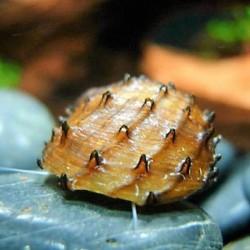 Neritina juttingae - Caracol puercoespín